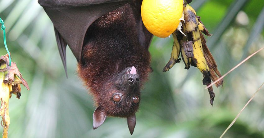 nipah virus infection